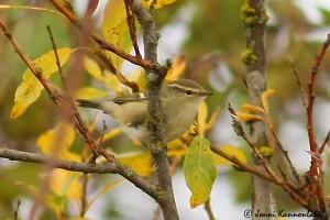 Taigauunilintu (Phylloscopus inornatus) 05.10.2008 Mustasaari, Valassaaret. Kuva: Jouni Kannonlahti.