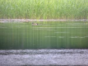 Amerikanhaapana (Anas americana) 15.06.2008 Mustasaari, Petsmon kalasatama. Kuva: Arto Keskinen.