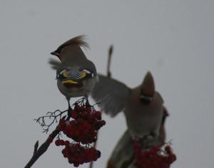 Tilhi (Bombycilla garrulus) 20.12.2006 Vaasa. Kuva: Jouni Kannonlahti.