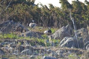 Valkoposkihanhi (Branta leucopsis) pari kuvattu Vaasan saaristossa 22.05.2006.  Kuva: Jouni Kannonlahti.