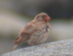 Aavikkotulkku (Bucanetes githagineus) 16.07.2005 Mustasaari, Östra Norrskär. Kuva: Aarne Lahti.