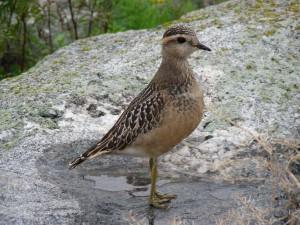 Keräkurmitsa (Charadrius morinellus) 07.09.2006 juv. Maalahti, Lillgrynnan. Kuva: Esko Muurimäki