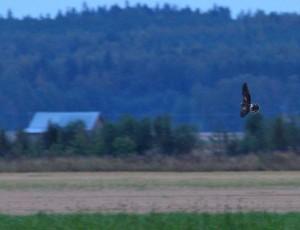 Arosuohaukka (Circus macrourus) 10.09.2007 Vaasa, Söderfjärden 1-kv. Kuva; Roland Lillkåla