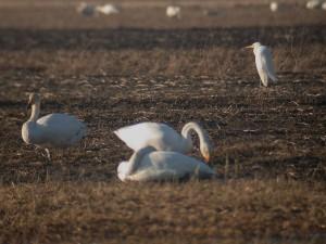 Jalohaikara (Egretta alba) laulujoutsenten (Cygnus cygnus) seurassa 27.03.2007 Maalahti, Petolahti, Bjurnäs. Kuva: Aarne Lahti.