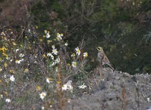 Tunturikiuru (Eremophila alpestris) 02.03.2004 Vöyri, Jörala. Kuva: Tomas Klemets.