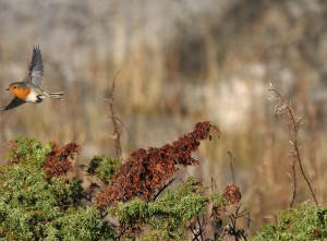 Punarinta (Erithacus rubecula) 06.10.2007 Mustasaari, Östra Norrskär. Kuva: Aarne Lahti.