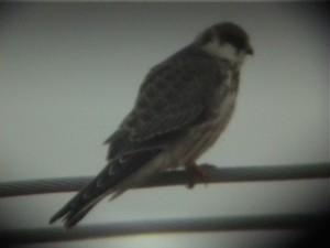 Punajalkahaukka (Falco vespertinus) 09.2001 Vaasa-Mustasaari, Söderfjärden. Kuva: Jari Helstola.