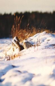 Tunturipöllö (Nyctea scandiaca) 1-kv. naaras, Vaasa, Söderfjärden 02.12.1999. Kuva: Aarne Lahti.