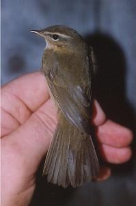 Ruskouunilintu (Phylloscopus fuscatus), Mustasaari, Östra Norrskär 17.10.2001. Kuva: Aarne Lahti.