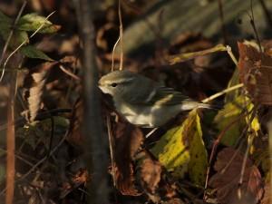 Kashmirinuunilintu (Phylloscopus humei) 11.10.2008 Mustasaari, Norrskär. Kuva: Aarne Lahti.