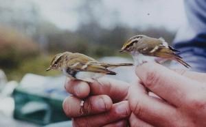 Taiga- ja hippiäisuunilintu (Phylloscopus inornatus + Phylloscopus proregulus), Mustasaari, Östra Norrskär 04.10.1992. Kuva: Aarne Lahti.