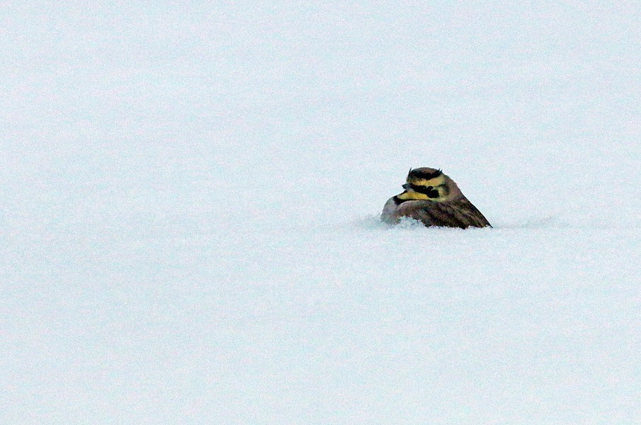 Tunturikiuru kahlailemassa tammikuun nietoksissa. Kuva Aarne Lahti